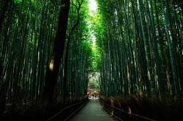 Kyoto Natural Japan Bamboo Forest Green Bamboo